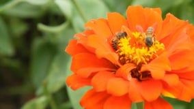 Honey bee in a orange zinnia flower stock video