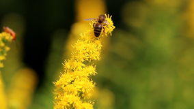 Honey bee and other insects at yellow goldenrods stock footage