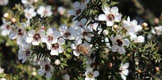 Honey Bee på den Manuka blomman Arkivfoto