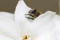 Honey Bee på en gardenia Royaltyfria Foton