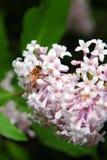 Honey Bee på en lila Royaltyfri Bild
