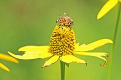 Honey Bee på gul tusensköna Royaltyfri Fotografi