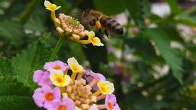Honey Bee på LantanaCamara Flowers 04 ultrarapid