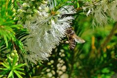 Honey bee. The pecoreadotas bees, absorb with their nectar the nectar of the flowers that they visit, they introduce it in their crop and they return to the hive Stock Photo