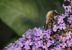 Honey Bee peludo en las flores de la lila que bebe el néctar Foto de archivo