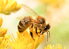 Honey bee. Photography of Honey bee collecting pollen