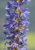 Honey Bee on Pickerelweed Stock Photo