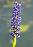 Honey Bee on Pickerelweed stock photos