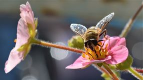 Honey bee on pink strawberry flowers stock photography