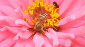 Honey bee in a pink zinnia flower Stock Photo
