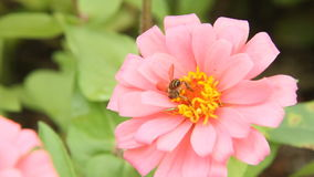 Honey bee in a pink zinnia flower stock footage