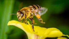 Honey Bee planant au-dessus de la fleur Image stock