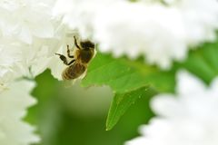 Bee polinating on the white flower macro stock images