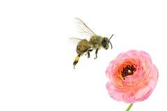 Honey Bee pollen collecting Royalty Free Stock Photos
