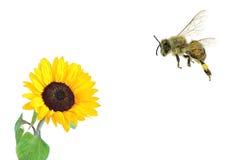 Honey Bee pollen collecting Stock Photo
