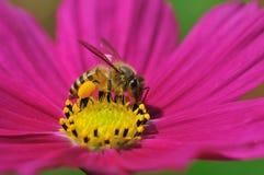 Honey bee pollen Royalty Free Stock Image