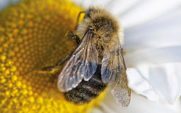 Honey Bee. Pollenating and collecting nectar Royalty Free Stock Photo