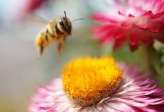 Honey bee Stock Image