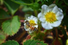 The honey bee pollinates the flowers of the strawberry which blossoms in large spring flower in Cottage Garden in South Jordan, Ut. Ah. USA stock image