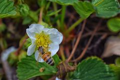 The honey bee pollinates the flowers of the strawberry which blossoms in large spring flower in Cottage Garden in South Jordan, Ut. Ah. USA stock photo