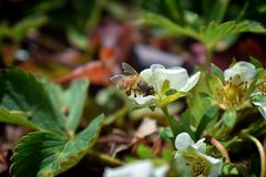 The honey bee pollinates the flowers of the strawberry which blossoms in large spring flower in Cottage Garden in South Jordan, Ut. Ah. USA royalty free stock image