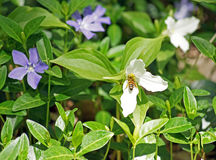 Honey bee pollinates trilliums. Honey bee fills his sacs with pollen as he pollinates the trillium, which is the provincial flower of Ontario Canada Stock Image