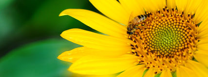 Free Honey Bee Pollinating A Sunflower. Insect, Flower, Agriculture Honeybee Stock Image - 37958451