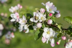 Honey bee pollinating apple blossom. The Apple tree blooms. Spring flowers stock photography