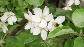 Honey Bee Pollinating Apple Blossoms. Collecting nectar from flower in springtime concept stock video