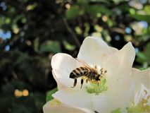 Honey bee pollinating apple tree. A honey bee pollinating an apple tree on a sunny spring day stock photo