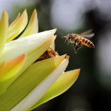 Honey Bee Pollinating. Bees Taking Turn at the Tip of a Flower Bud to Pollinate Stock Images
