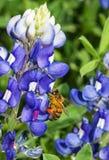 Honey Bee Pollinating Bluebonnet Flower Imagen de archivo