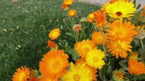 Honey bee pollinating Calendula flowers stock footage