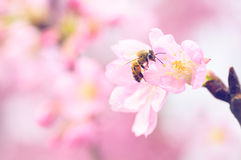 Free Honey Bee Pollinating Cherry Blossoms. Insect, Flower, Agriculture Honeybee, Sakura Stock Photo - 69250090
