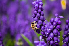 Honey Bee Pollinating Close Up Stockfotos