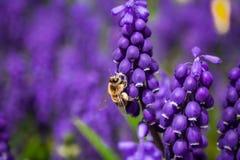 Honey Bee Pollinating Close Up Stock Photos