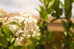 Honey Bee-2. Honey bee pollinating colorful flowers Stock Images