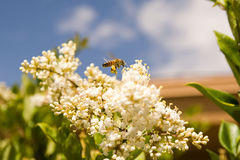 Honey Bee-3. Honey bee pollinating colorful flowers Stock Images