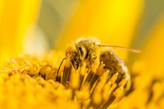 Honey bee pollinating covered with pollen looking down in flower. The animal is sitting on a flower in summer or autumn time. Many little orange pollen on its Royalty Free Stock Image