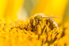Honey bee pollinating covered with pollen on yellow sunflower. The animal is sitting on a flower in summer or autumn time. Many little orange pollen on its body Royalty Free Stock Image