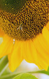 Honey Bee Pollinating Farm Sunflower Plant Stock Photography