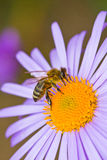 Honey bee pollinating flower. European honey bee (Apis mellifera) collecting pollen of summer flower Royalty Free Stock Photos