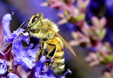 Honey bee Royalty Free Stock Photo