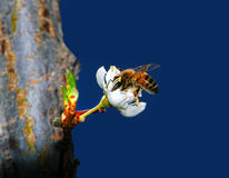 Honey Bee Pollinating Flower. On Chinese plumb tree Stock Images