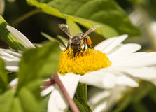 Honey Bee pollinating Flower Royalty Free Stock Photo
