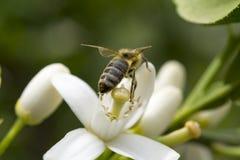 Honey bee pollinating flower of lemon tree. Close up stock photo