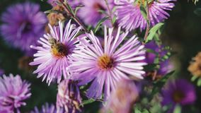 Honey bee pollinating flower, macro photography. Adult, honey bee pollinating purple flower, close-up stock footage