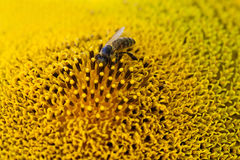 Honey bee pollinating flower. Macro view sunflower seeds and insect searching nectar. Shallow depth of field, selective Royalty Free Stock Photo