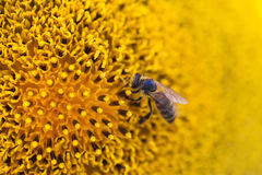 Honey bee pollinating flower. Macro view sunflower seeds and insect searching nectar. Shallow depth of field, selective. Focus photo Royalty Free Stock Images