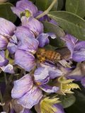 Honey bee pollinating flowers Stock Image